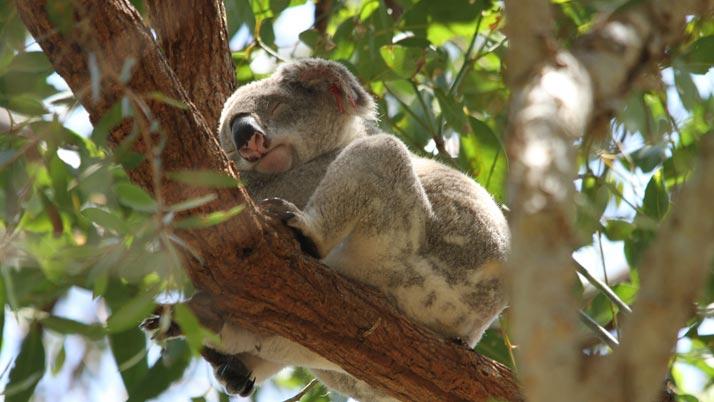 Koalas receive a $970,000 windfall at Doonan Creek