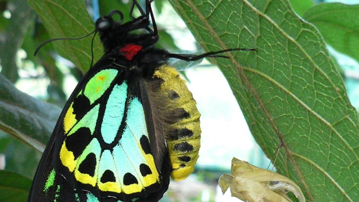 Giving the birdwing butterfly a helping hand